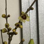 蝋梅の花言葉は『慈愛』